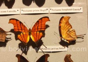 Marpesia Petreus, musée d'Orbigny