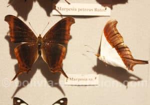 Papillon Marpesia Bolivie