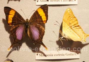 Marpesia coresia Godart, Bolivie