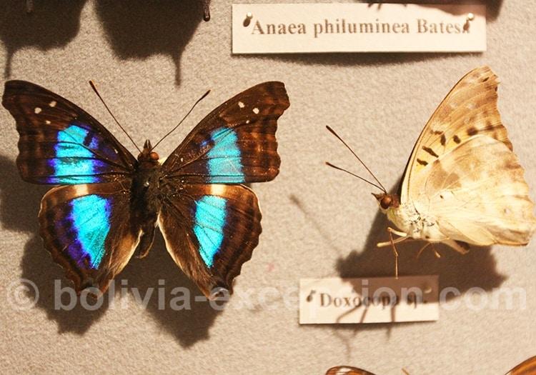 Papillon Doxocopa, musée d'Orbigny