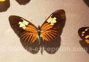 Papillon de Bolivie