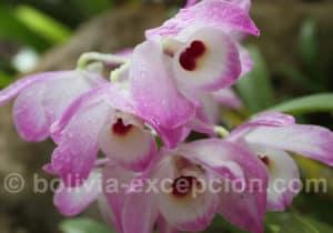 Orchidée au Biocentre Guembe