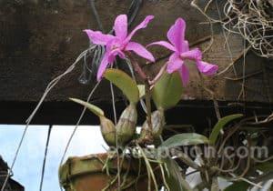 Festival des orchidées, région de Santa Cruz