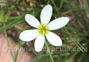 Flore de Bolivie