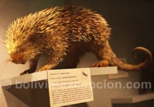 Porc-épic, musée d'Orbigny à Cochabamba