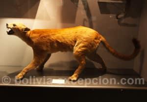 Puma, musée d'Orbigny à Cochabamba