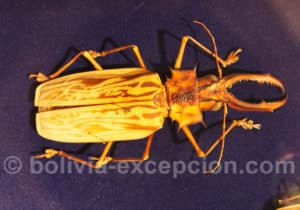 Famille Cerambycidae