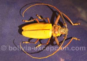 Cerambycidae, musée d'Orbigny à Cochabamba