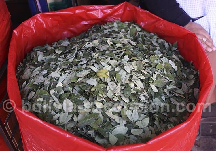 Les feuilles de coca