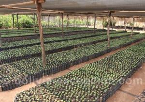 Pépinière de plants de café, Bolivie