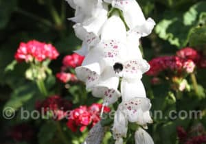 Orchidées de Bolivie