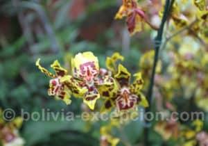 Orchidée bolivienne