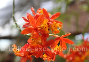 Orchidée Santa Cruz