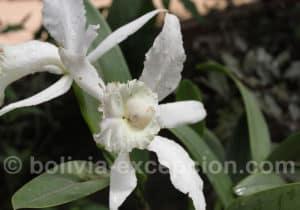 Bolivie pays des orchidées