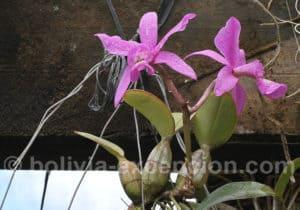 Orchidée Concepcion