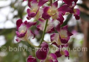 Orchidées Bolivie