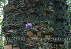 Fleur Orchidée Bolivie