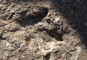 Alioramus, genre Tyrannosauridé, Torotoro
