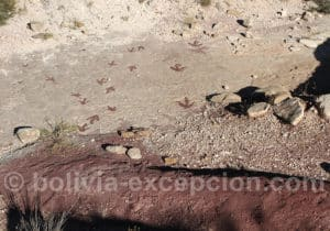 Coelurosaure, Carreras Pampas, Torotoro
