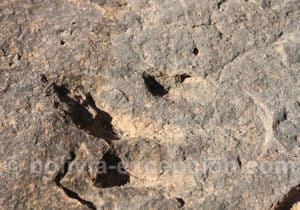 Coelurosaure, rio Torotoro