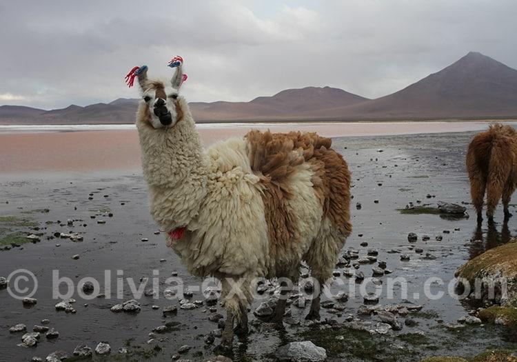 En mars en Bolivie l'Altiplano est pluvieux