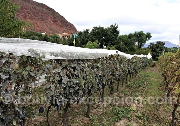 Mars début de vendanges à Tarija