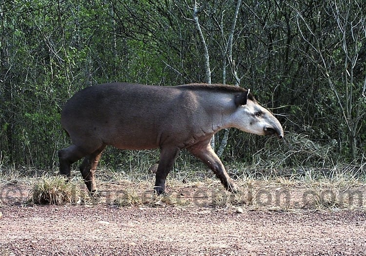 Tapir, parc national Isiboro Secure