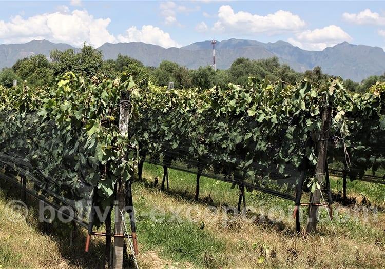 En avril, route des vins boliviens
