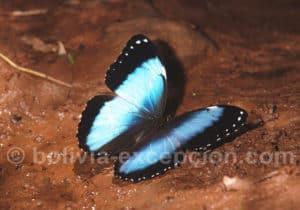 Les papillons du parc national Amboro
