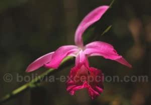 Fleurs à Amboro, Santa Cruz