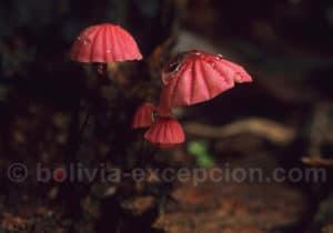 Champignons parc national Amboro