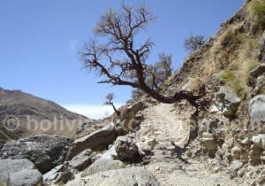 Polylepis sur le chemin inca de Tarija