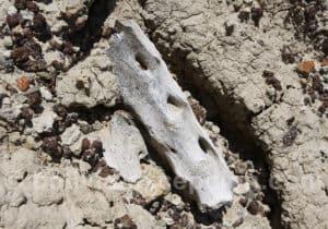 Site de Rujero, mandibule et dents d'animaux préhistoriques