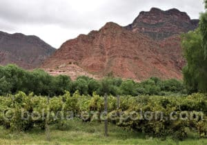 Vignoble dans la Quebrada de Los Cintis