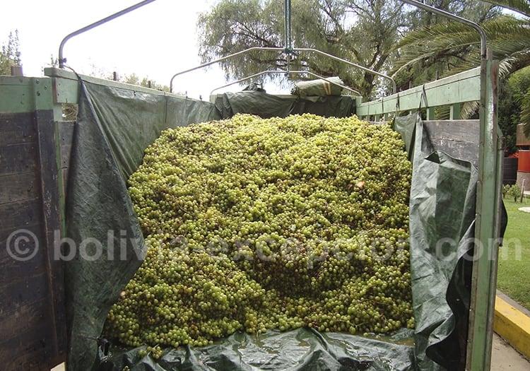 Cepage chardonnay en Bolivie