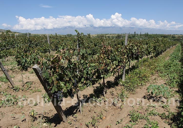 Cepage tannat en Bolivie